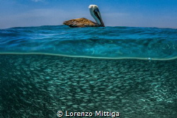 Overunder shot. A Brown Pelican is resting after a strike... by Lorenzo Mittiga