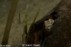 Is it safe to come out? Goby hides in a broken off kelp f... by Kerri Keet
