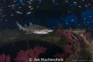 A Sand Tiger shark cruises the Aeolus Wreck in North Caro... by Jim Machinchick
