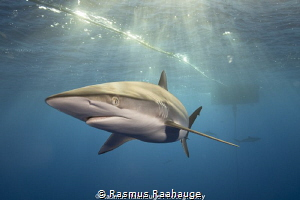 Silky shark cruising around the Navy Buoy on Andros Island by Rasmus Raahauge