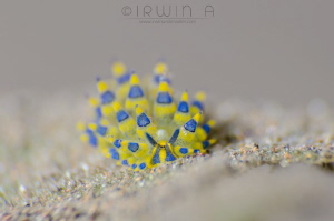 S H A L L O W Seaslug (Stiliger Ornatus) Tulamben, Indo... by Irwin Ang