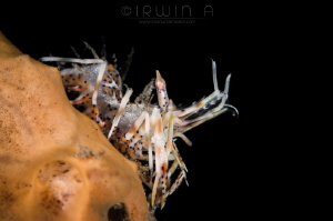 B O N G O - S H R I M P Bongo shrimp (Phyllognathia cera... by Irwin Ang