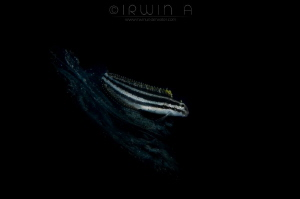 F L O W - I N G False cleanerfish (Aspidontus taeniatus)... by Irwin Ang