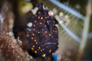 I . A M . P A I N T E D Juvenile painted frogfish (Anten... by Irwin Ang