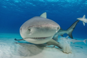 'Bullseye' - Bull shark coming in to inspect my dome port. by Spencer Burrows