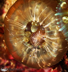 Small shrimp rests on a corallimorph. by Glenn Ostle