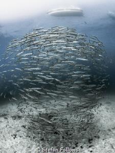 Version ...  Chevron Barracuda - Sphyraena qenie  Sai... by Stefan Follows