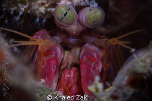 Mantis Shrimp by Khaled Zaki