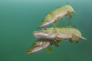 Mating Pike, UK, Inland, Stoney Cove The males entice fe... by Spencer Burrows