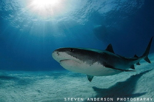 Everything shines under the Shear Water at Tiger Beach - ... by Steven Anderson