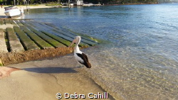 Pelican by the sea Port Stevens New South Wales by Debra Cahill