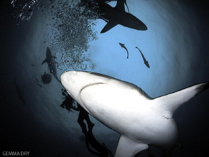 Blacktip sharks - Aliwal Shoal - South Africa by Gemma Dry