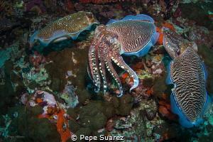 Cuttlefish mating by Pepe Suarez