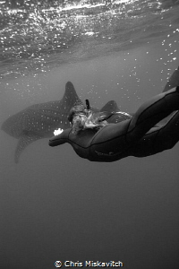 Divers with whale shark by Chris Miskavitch