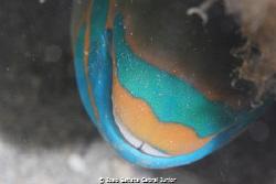 Parrotfish sleeping. by Joao Batista Cabral Junior