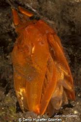 Golden Mantis Shrimp(lysiosquilloides mapia) by Deniz Muzaffer Gökmen