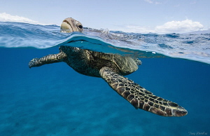 Honu in Lahaina gettin' a breath. by Tony Cherbas