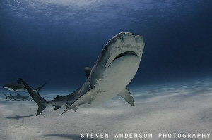 Tiger Beach never fails for Tiger Shark encounters! by Steven Anderson