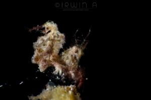 R O A S T E R 2 Hairy shrimp (Phycocaris simulans) Anil... by Irwin Ang