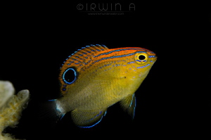 B A B Y Speckled damselfish (Pomacentrus bankanensis) A... by Irwin Ang
