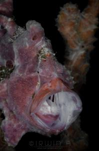 A H H  Pink frogfish (Antennarius ocellatus) Anilao, Ph... by Irwin Ang