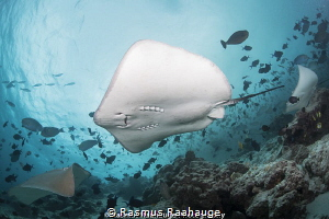 Stingrays is the main attraction at Fish Factory by Rasmus Raahauge
