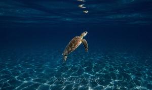 Green sea turtle by Michael Dornellas