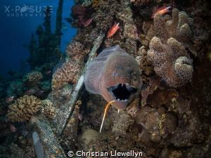 Moray Eel - Gymnothorax javanicus Fishing hook caught in... by Christian Llewellyn
