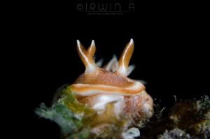 3 Nudibranch (Glossodoris rufomarginata) Lombok (Gili),... by Irwin Ang