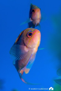 Anthias anthias, male and female by Marco Gargiulo