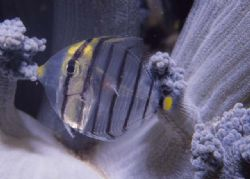 baby butterfly fish by Chris Kennedy
