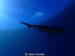 Vertigo Shark.  Black Tip Reef Shark in Yap. by Jason Rootes