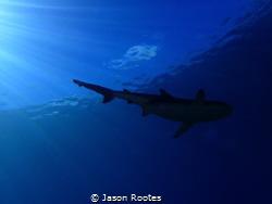 Vertigo Shark.  Black Tip Reef Shark in Yap. by Jason Rootes