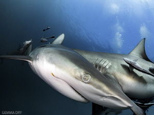 Got my eye on you - Blacktips - Aliwal Shoal by Gemma Dry