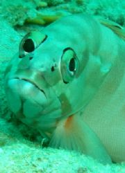 Blankfin grouper - Photo was taken at the Quays in Ras Mo... by Anel Van Veelen