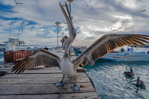 pelican dance by Michael Dornellas
