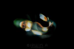Juvenile oriental sweetlips (Plectorhinchus vittatus) Tu... by Irwin Ang