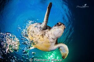 Green turtle comeback by Plamena Mileva