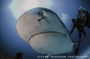 Emma the world famous Tiger Shark dives headon to face my... by Steven Anderson