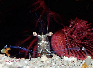 Tiny Commensal shrimp Cuapetes tenuipes,