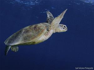 Turtle by Iyad Suleyman