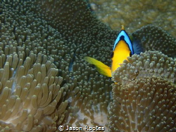 Hiding in an anemone. by Jason Rootes