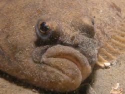 Plaice or pleuronectes platessa Taken in North Sea by Brocken Rudi