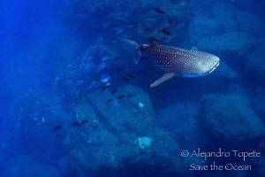 Whale shark with jacks Following, Isla San Benedicto Mexico by Alejandro Topete