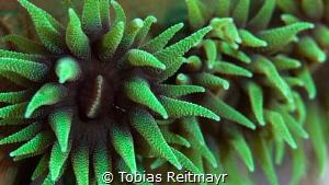 Green Cup corals, Fantasea Reef, Puerto Galera by Tobias Reitmayr