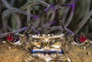 Velvet crab amongst snakelock anenome.   Super macro sh... by Spencer Burrows