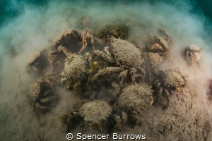 'Spider Chaos' - Spider crabs beginning to aggregate. UK/... by Spencer Burrows