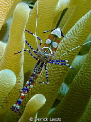 Anemone Shrimp taken with my TG4 in Curacao by Derrick Laszlo