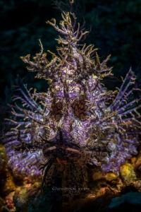 Rhinopias frondosa 50mm with 12mm ext.tube (no crop) by Wayne Jones