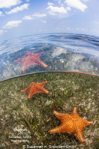 """""""Stars Above And Below""""  Starfish are seen both through... by Susannah H. Snowden-Smith"""